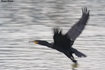 04. Cormorants (Κορμοράνοι)