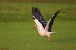 06. Storks-Ibises (Πελαργοί-Ίβηδες)