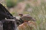 09. Partridges & Pheasants (Πέρδικες & Φασιανοί)