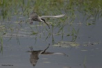 12. Gulls & Terns (Γλάροι & Γλαρόνια)