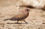 13. Pigeons - Doves (Περιστέρια - Τρυγόνια)