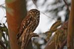 14. Owls (Γλάυκες)