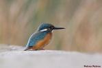 16. Kingfishers (Αλκυόνες)