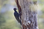 18. Woodpeckers (Δρυοκολάπτες)