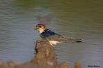 20. Swallows & Martins (Χελιδόνια)