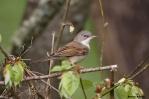 24. Warblers (Συλβιίδες)