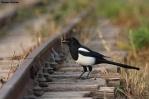29. Crows (Κορακοειδή)