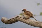 31. Sparrows (Σπουργίτες)