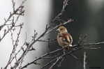 32. Finches (Σπίζες)