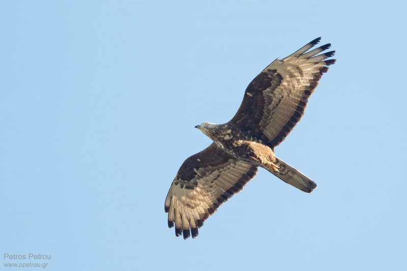 A Honey Buzzard (Pernis apivorus) is flying over the Antikythira island, Greece in sunset light