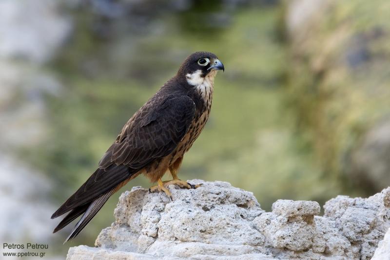 A (light morph) male Eleonora's Falcon (Falco eleonorae) is sitting and resting on a rock at Antikythira island, Greece