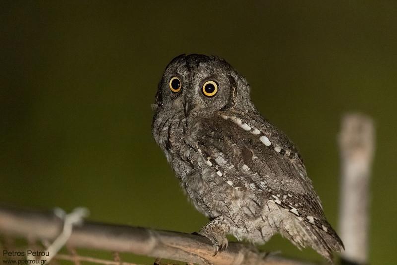 An Eurasian Scops Owl (Otus scops) is sitting on a fense at Antikythira island, Greece