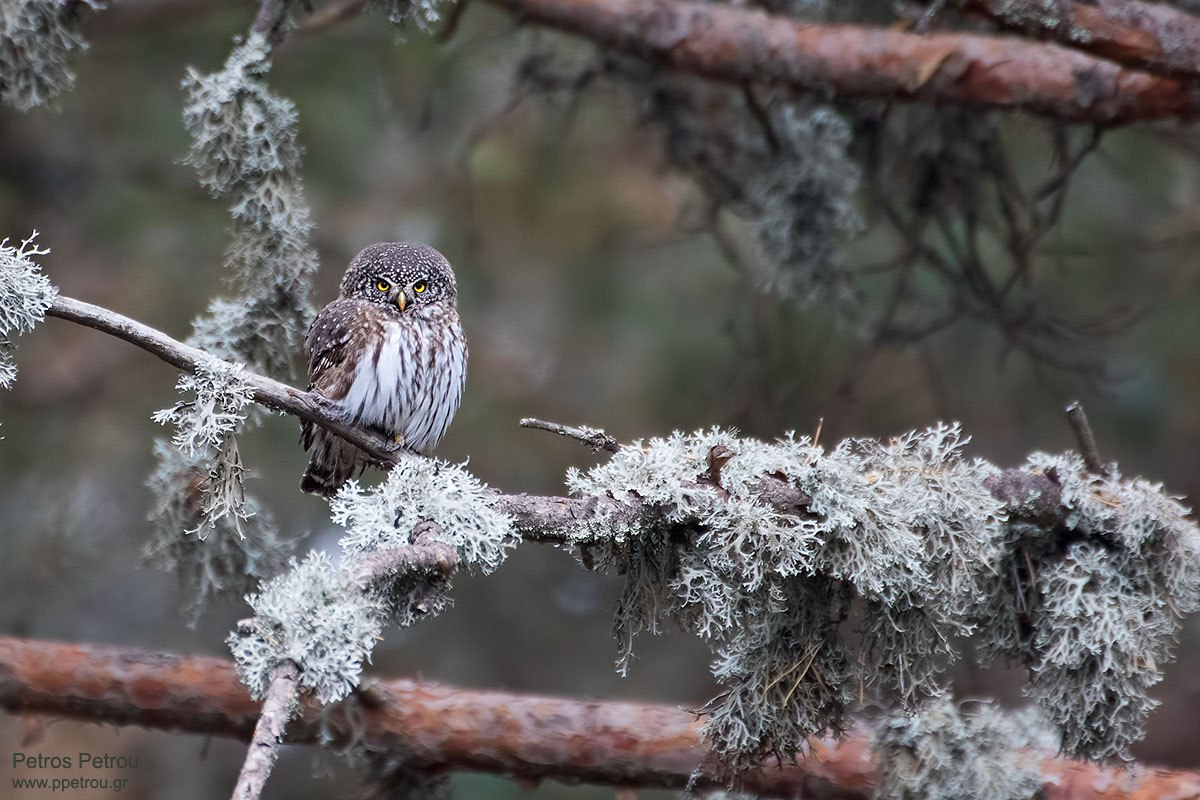 An Eurasian Pygmy Owl (Glaucidium passerinum) is sitting on a tree branch at Elatia forest, Macedonia, Greece.