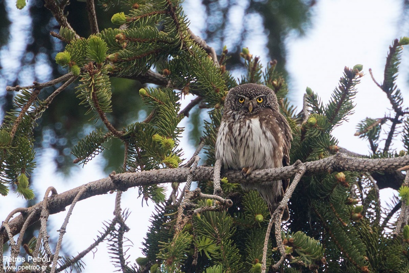 pygmy_owl_2016-06_elatia-forest