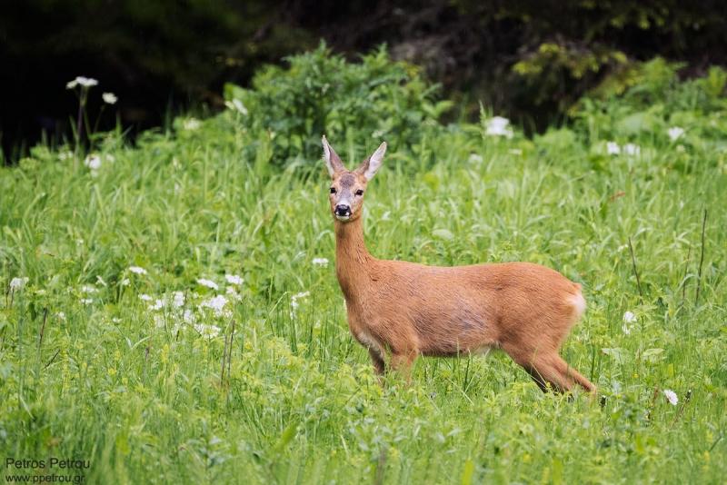roe_deer_2016-06_elatia-forest