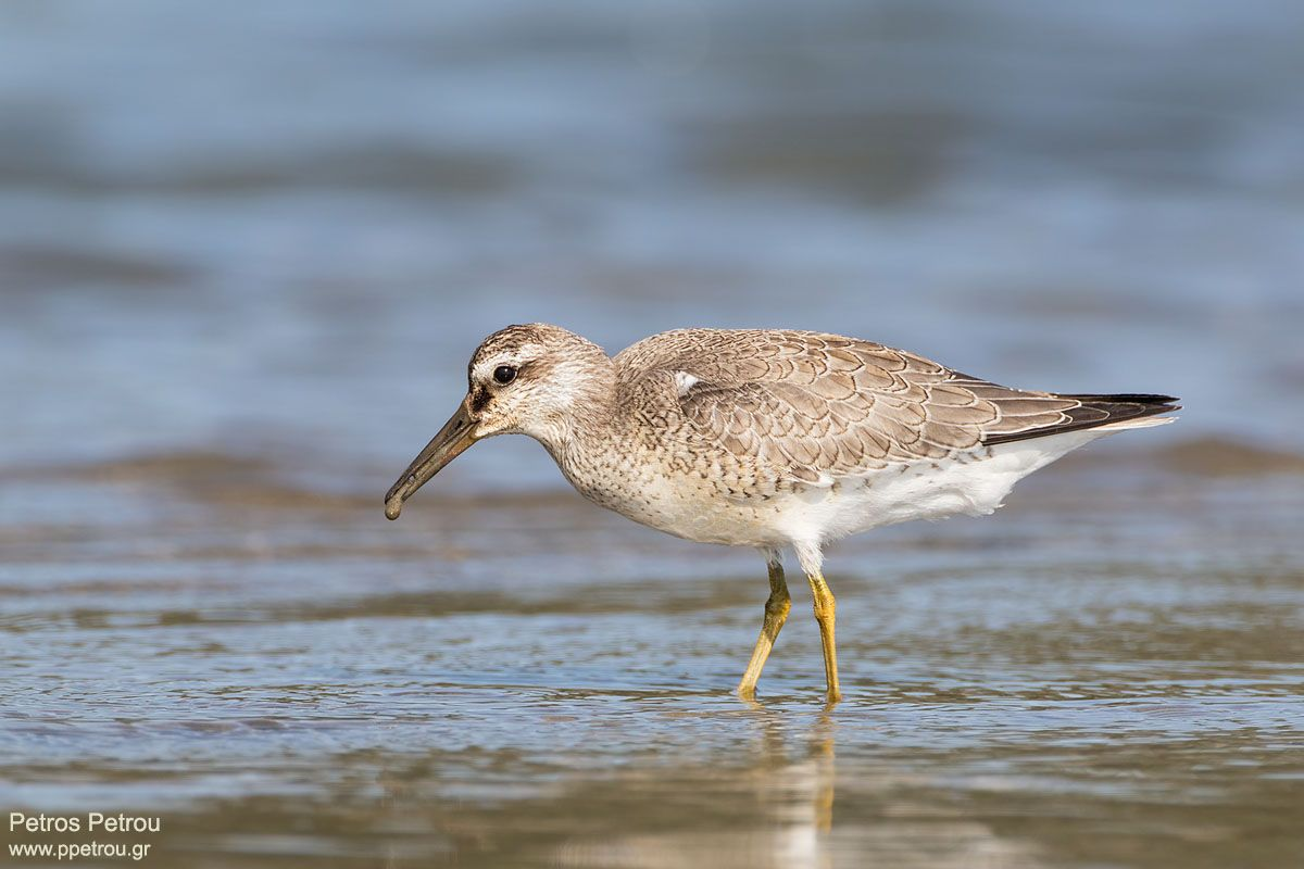 Calidris-canutus_2016-autumn_Mesolonghi