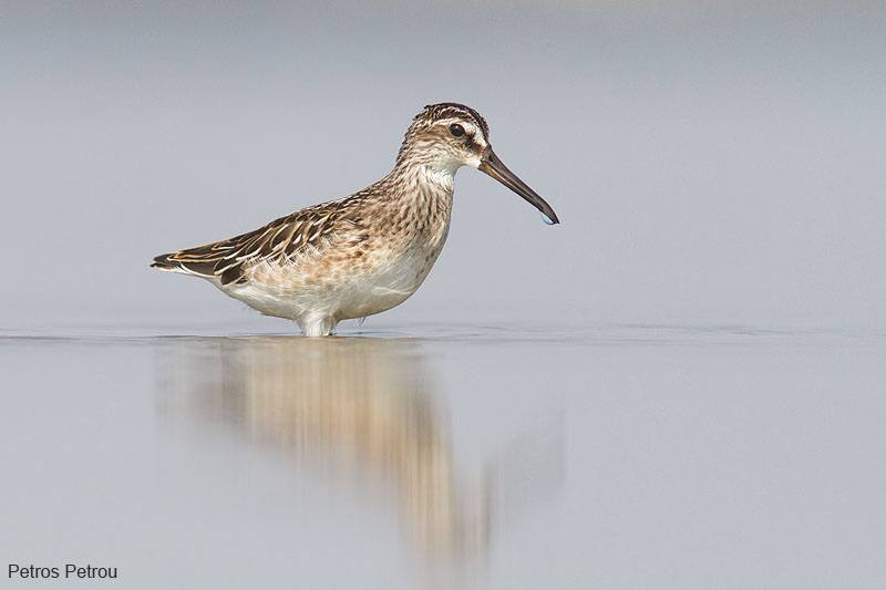 broad-billed_sandpiper_2012-09_mesolonghi