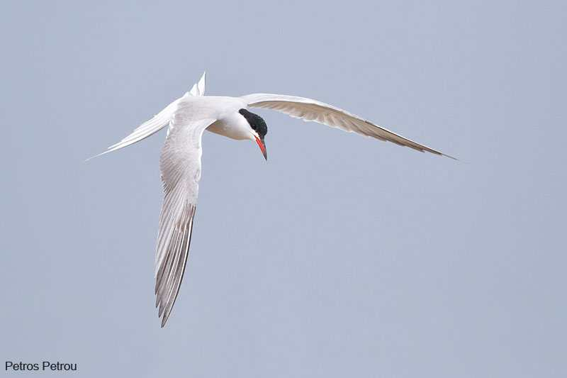 common-tern_2012-04_mesolonghi