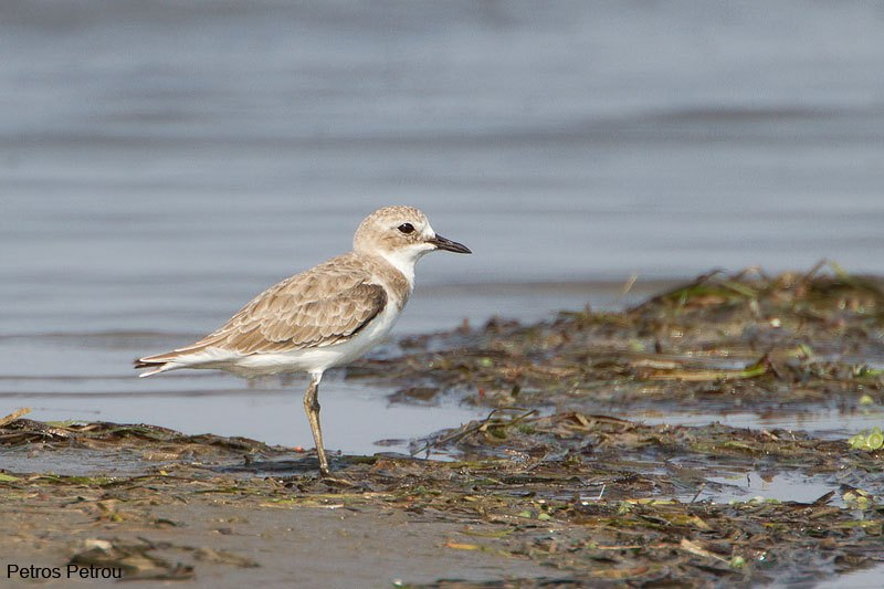 greater-sand-plover_2012-08_mesolonghi