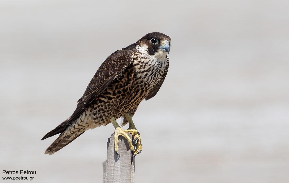 Falco-peregrinus_2016-autumn_Mesolonghi
