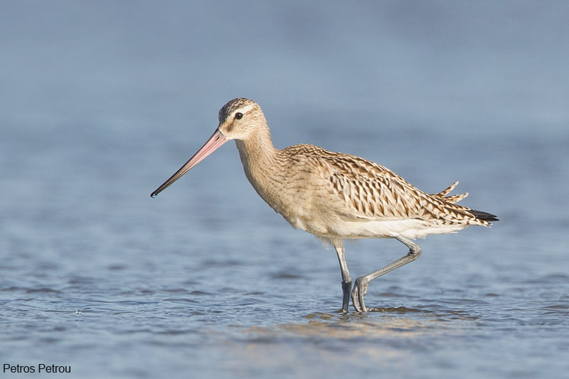 bar-tailed_godwit_mesolonghi_2012