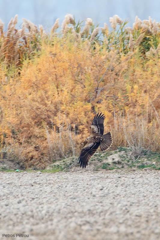 black-kite_2011-12_mesolongi