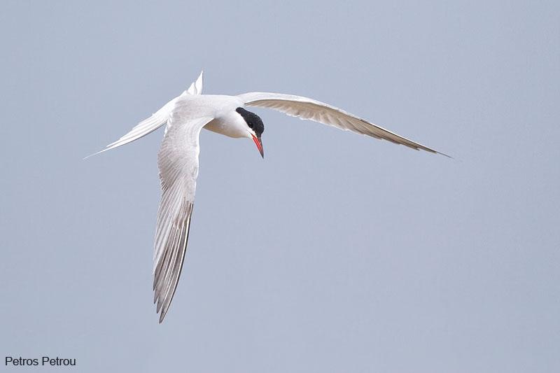 common-tern_2012-04_mesolonghi