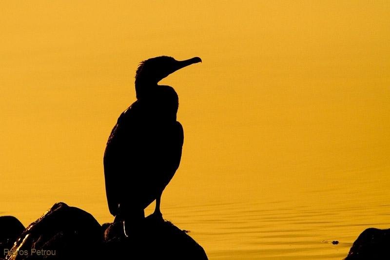 cormorant-silhouette_2011-12_mesolongi