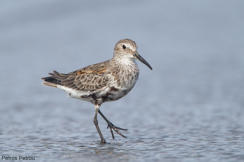 dunlin_molting_to_winter_plumage_2013-09_messolonghi