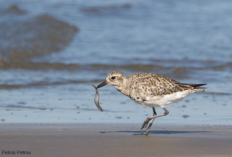 grey_plover_with_fish_mesolonghi_2012
