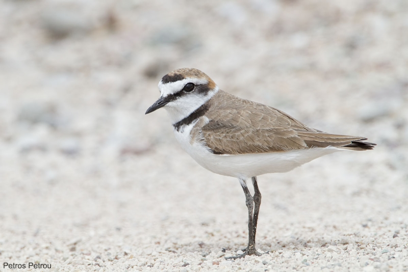 kentish_plover_2014-04_mesolonghi