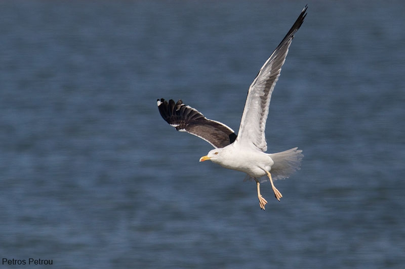lesser_black-backed_gull_mesolonghi_2012