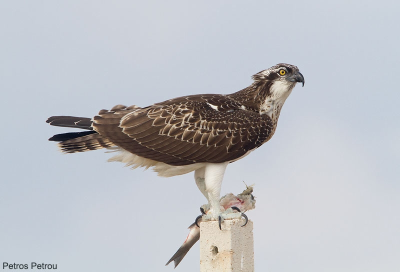 osprey_with_fish_2013-09_messolonghi