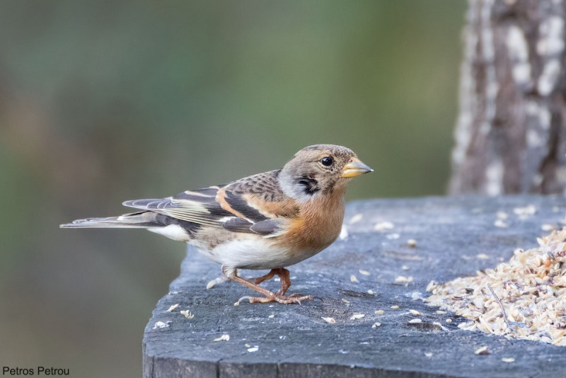 A female Brambling (Fringilla montifringilla) is feeding at Dadia forest, Evros, Greece