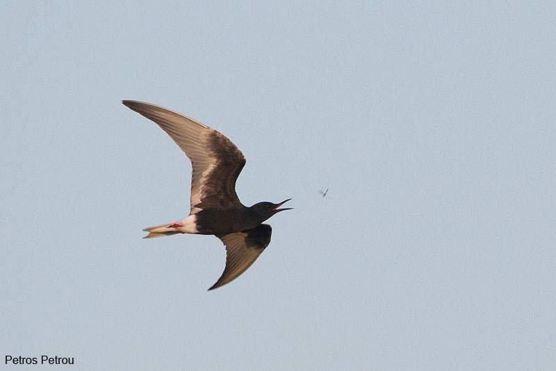 white-winged-tern_feeding_evros_river_delta_2012_05