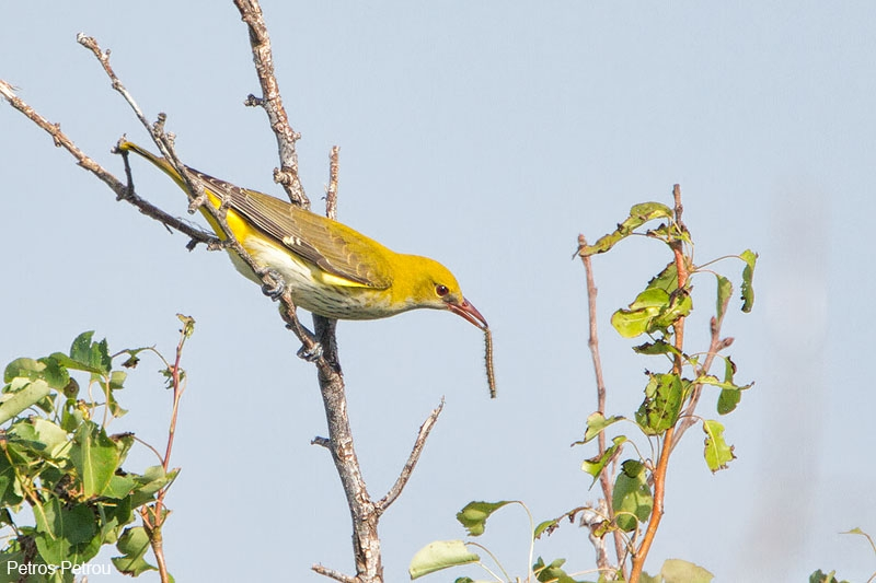 golden_oriole_with_prey_evros_2012_05
