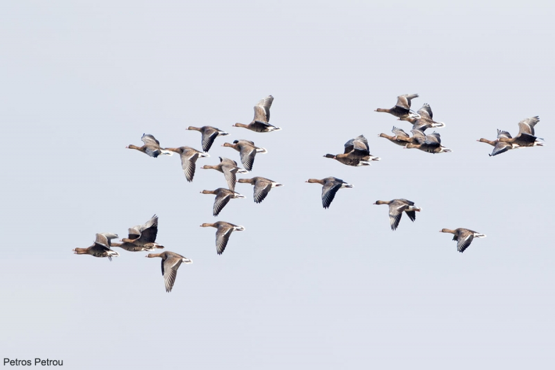 A flock of Lesser White-fronted Goose (Anser erythropus) is flying over the Evros river estuaries, Greece