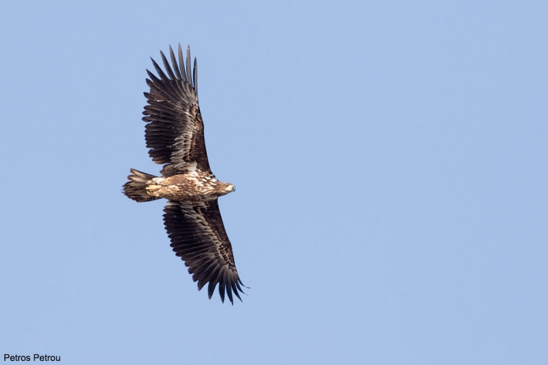 An immature White-tailed Eagle (Haliaeetus albicilla) is flying over Evros river estuaries, Thrace, Greece