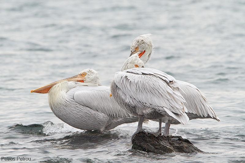 dalmatian-pelicans_resting_2012-12_gallikos-river
