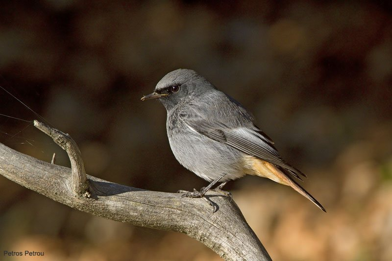 black_redstart_mount_giona_2010-10