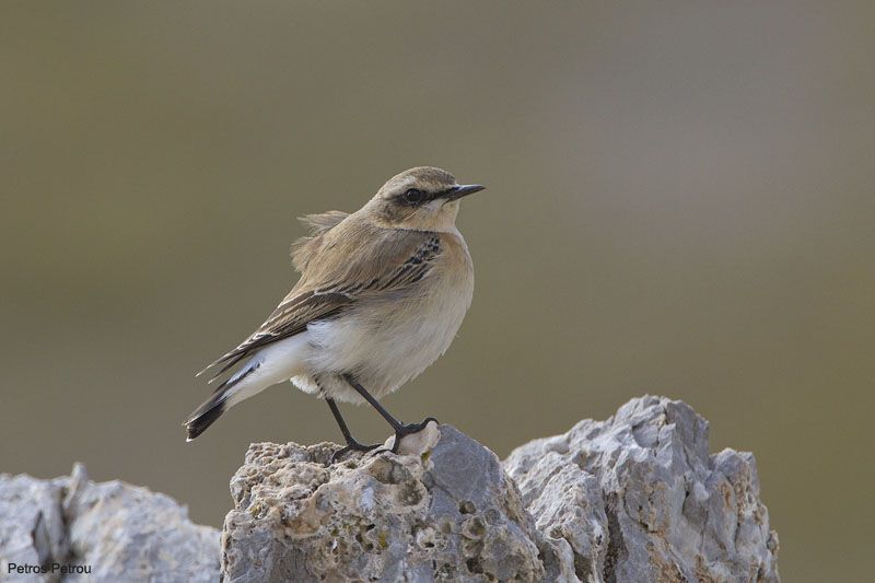 northern_wheatear_giona_2010-09