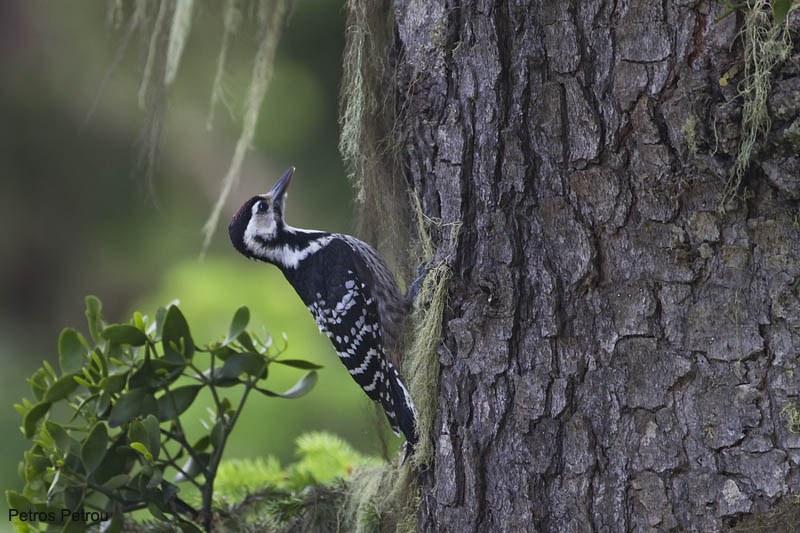 white-backed_woodpecker_mount_giona_2011-06