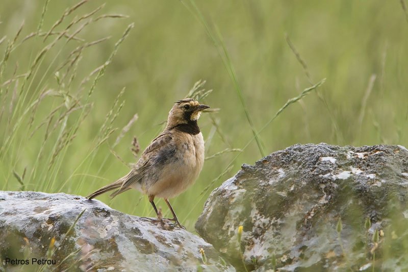 horned_lark_mount_giona_2011-06
