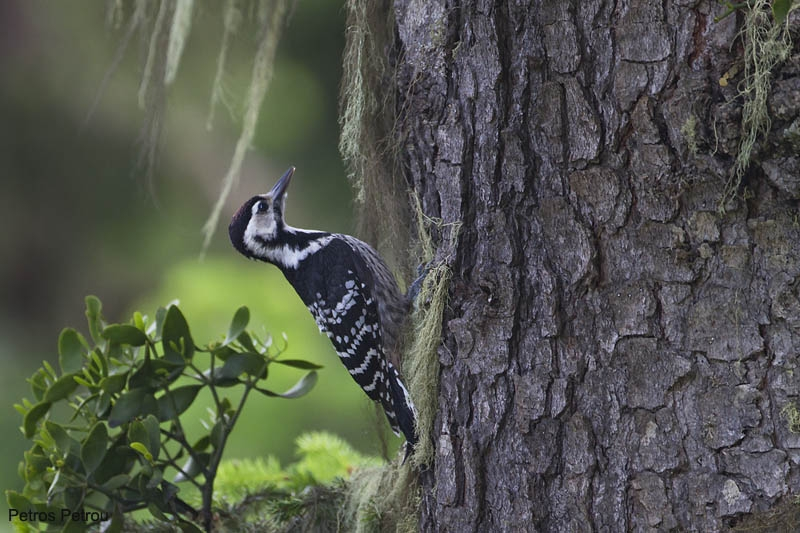 white-backed_woodpecker_mount_giona_2011-06