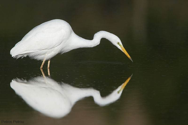 great_egret_fishing_2012-12_kalamas-river_0