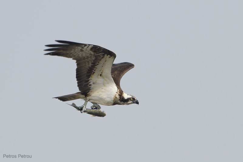 osprey-with-fish_kalamas_2011-04