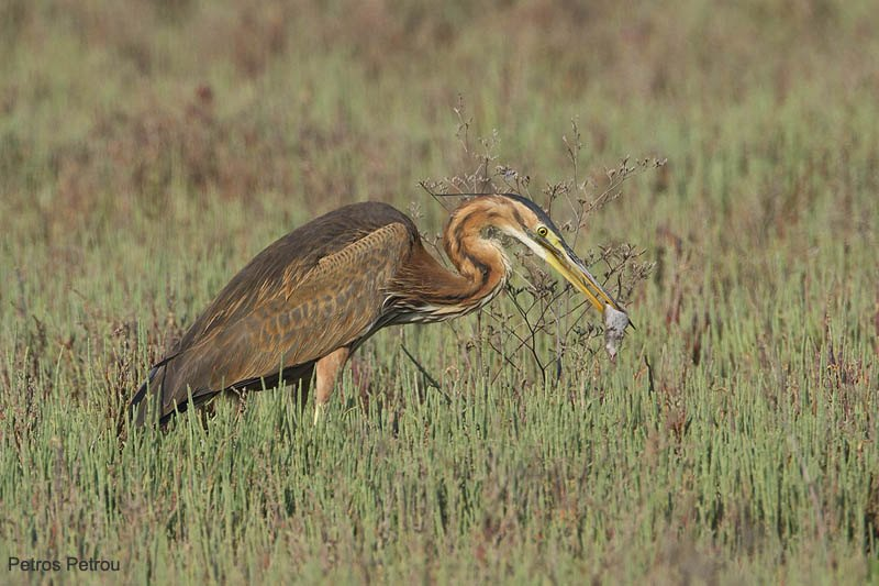purple-heron-with-mouse_kalamas_2011-04