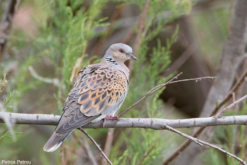 turtle_dove_2014-04_kalamas