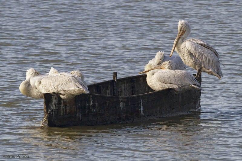 dalmatian-pelicans_kerkini_2010-12