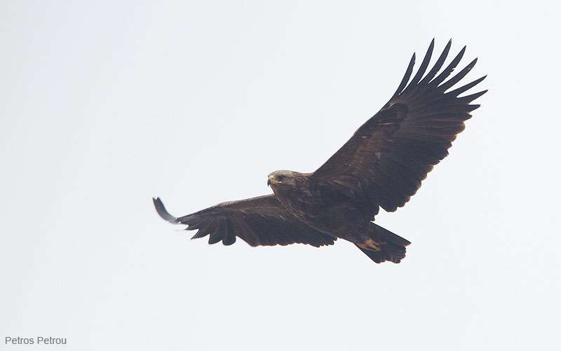 greater-spotted-eagle_2012-01_kerkini